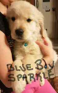 English Retriever Puppies- only 5 left