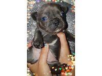 Last little girl!! Blue French bulldog