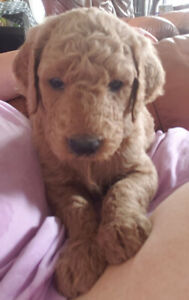 Goldendoodle pups only 6 left looking for their forever homes.