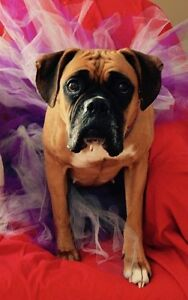 Roxy - 4 year old Boxer available for adoption
