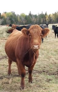 7 nice healthy limousine cows for sale