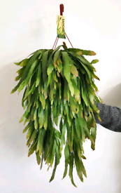 Amazing huge Rhipsalis Red Coral houseplant indoor plant