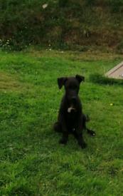 Handsome lurcher puppies