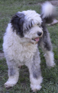 AUSSIEDOODLE adults for adoption