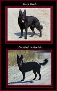 Solid Black German Shepherd pups for sale to approved homes
