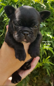 ANKC French Bulldog puppies