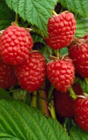Established raspberry plants.