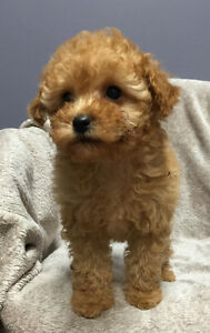 CKC Registered Toy and Miniature Female Poodle Puppies