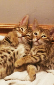 Bengal cubs(kittens) ready to go!