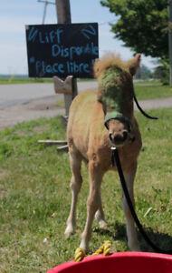 Poulain poney