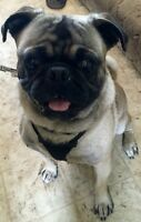 Male Pug for sale