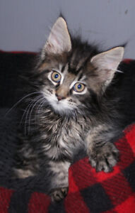 Pure Bred Maine Coon Kittens