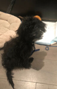 Toy poodle cross shih tzu
