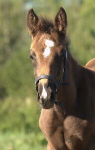 Yearling Warmblood Filly