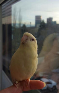 Lineolated parakeet looking for new home