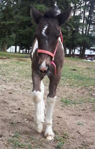 ATTENTION GYPSY BREEDERS9yr old Registered Gypsy Vanner Mare