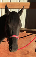 4 year old western pleasure mare willing to do trades