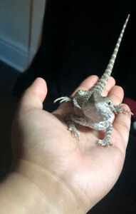 Young bearded dragon to go to a good home