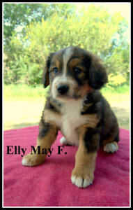 3/4 Bernese Mountain pups available Aug. 31