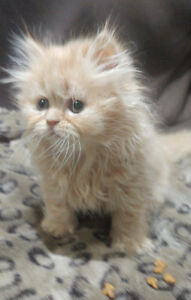Beautiful Female Red Persian Kitten