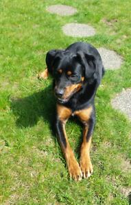 20 month old female RottieXBurmese Mtn. Dog
