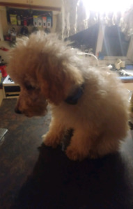 Toy poodle puppies. Sale 800 for males