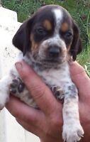 Worlds Cutest BLUETICK BEAGLE BABIES 7 puppies to choose from