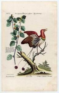 paradiesvogel physalis pflanze v gel kupferstich seligmann edwards 1749 1776 ebay. Black Bedroom Furniture Sets. Home Design Ideas