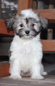 HAVA -POO'S (HAVANESE poodle) AND one Morkie