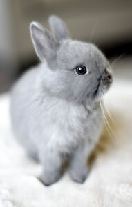 Fantastic Colours and Quality- Purebred Netherland Dwarf Bunnies