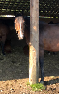 Reduced!! Beautiful Thoroughbred Mare
