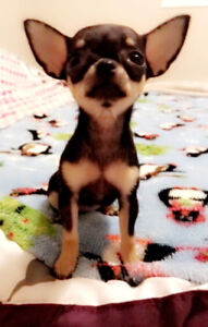 Chihuahua tcup pure breed for sale