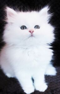 White PERSIAN kittens are available for adoption