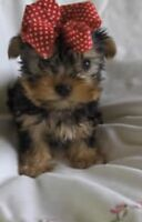 True Teacups *Micro Authentic* Yorkie Yorkshire Terrier Puppies