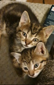 Twin kittens for sale