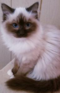 Ragdoll kittens. Tica registered