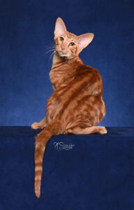 Pure oriental shorthair cat chat with CFA, CCA and TICA