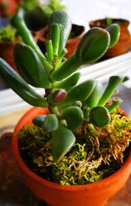 Mini Jade Plant Gollum