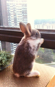 cute baby dwarf bunny girl, $80, includes food and hay.