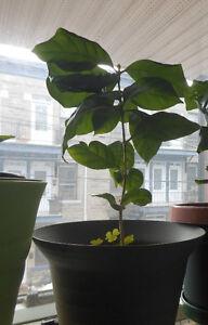 Coffee Tree/Plant