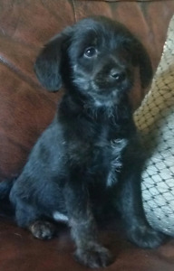 Poodle X male puppy available REDUCED TO FIND GOOD HOME.