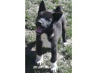 American Akita girl puppy May need rehoming 11weeks old KC Registered with paperwork