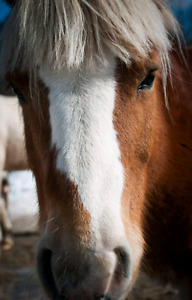 Haflinger a vendre for sell