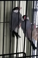 Young java sparrows