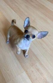 Xsmall chihuahua male puppy