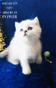 T I C A registered▪BRITISH SHORTHAIR▪K I T T E N