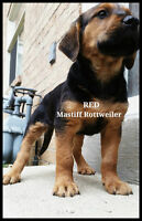 RED German Mastiff Rottweiler Puppies Crate & pee pad trained