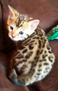 Registered Bengal Kittens READY NOW