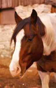 6 yr old 14hh Pinto Pony