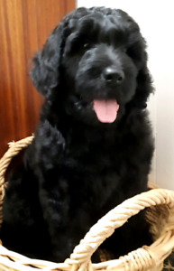 Beautiful F1B Black Goldendoodle Puppies Available